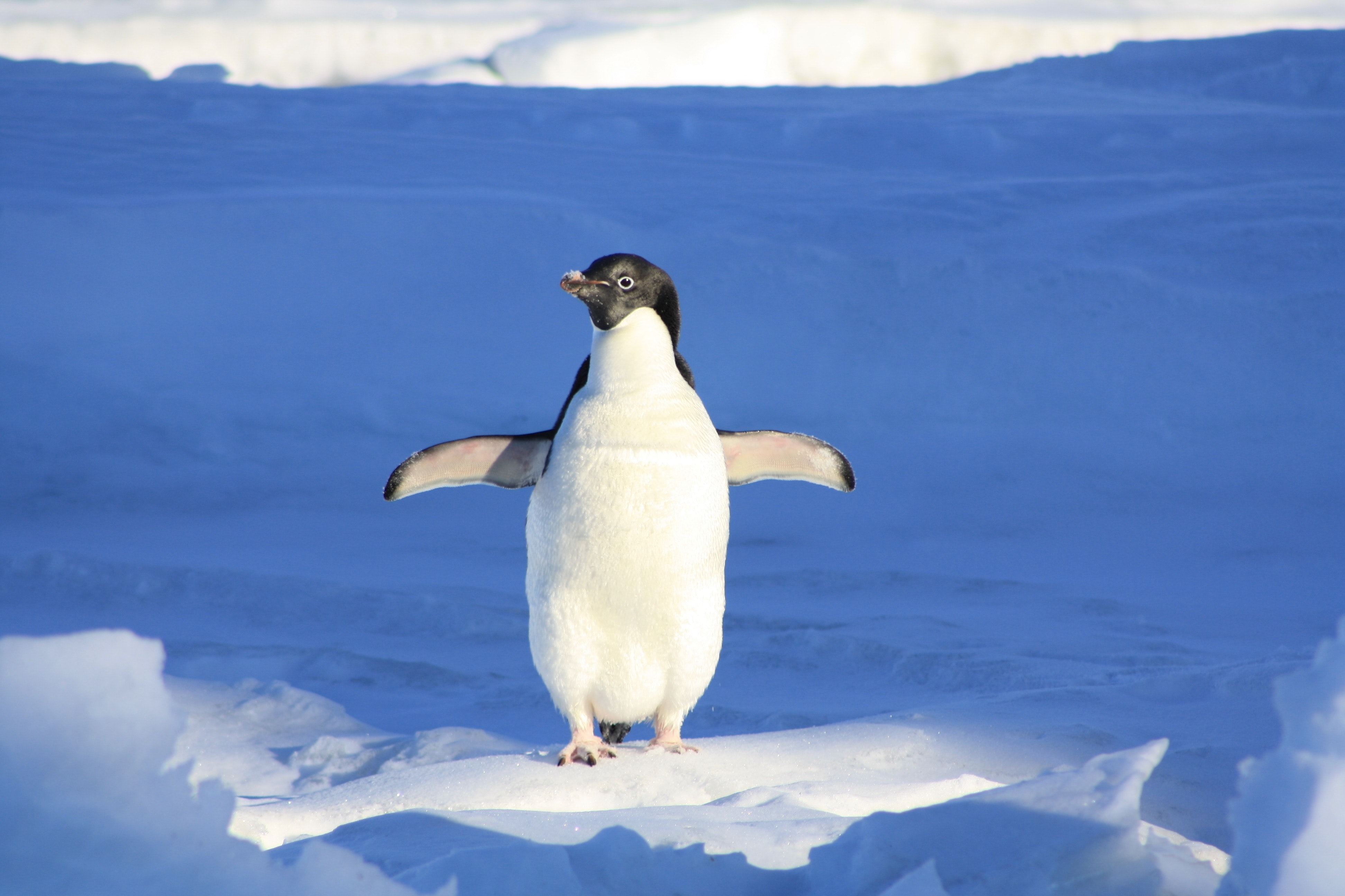close-up-photography-of-penguin-on-snow-86405.jpg
